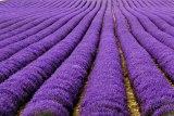 Лавандовые поля, Франция