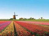Голландия, Қызғалтақ егістігі